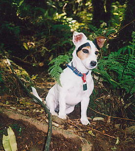 Mindy ... the Jack Russel Terrier